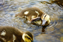 Ducklings on Loch Earn