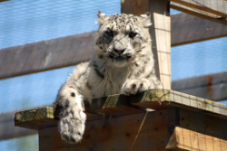Snow Leopard at the Highland Wildlife Park